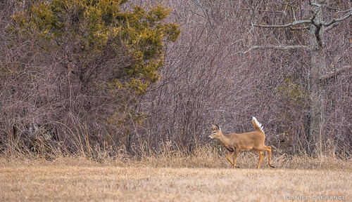 White-tailed Deer (DOL-A-8722)