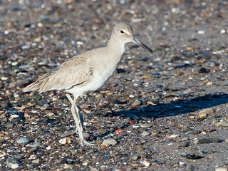 0B8A9250-Edit willet | by cameraclub231