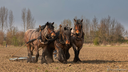 Preparing the field for sowing with Power Horses