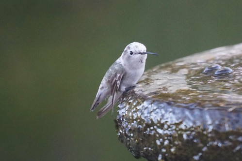 Casper the friendly leucistic Hummingbird | by Mike's Birds