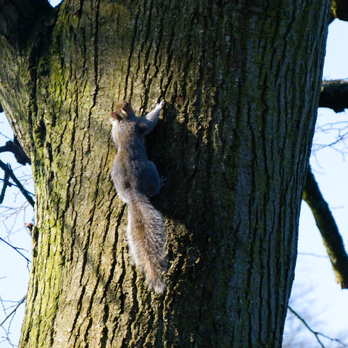 Clinging on (West Park squirrel)