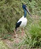 Black Necked Stork by The Pocket Rocket, On and Off.