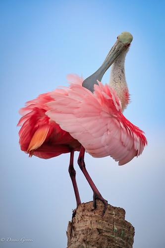action bird florida spoonbill sunrise vierawetlands wildlife