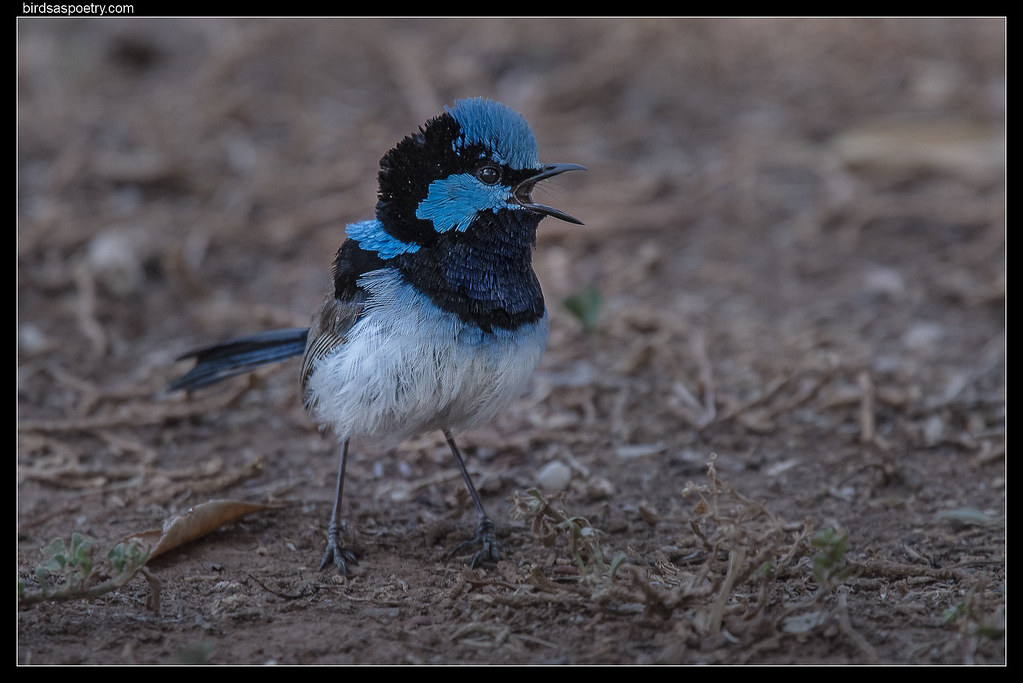 Superb Fairywren: And Another Thing!!