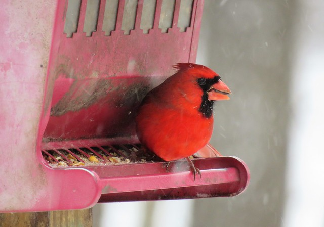 Northen Cardinal on a Snowy Afternoon