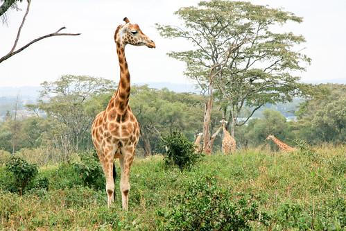 giraffe mammal nairobi bondelaufa kenia ke rothschildsgiraffe