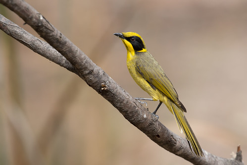Yellow-tufted Honeyeater | by petefeats