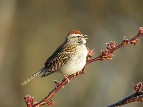 Chipping Sparrow | by mggoodwin56