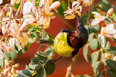 Purple-rumped Sunbird male