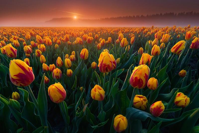 Обои поле, туман, рассвет, утро, тюльпаны, Нидерланды, бутоны, много картинки на рабочий стол, раздел цветы - скачать