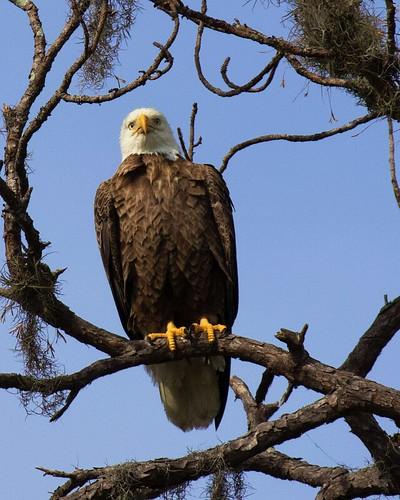 raptor gif eagle fluffing tree sky blue