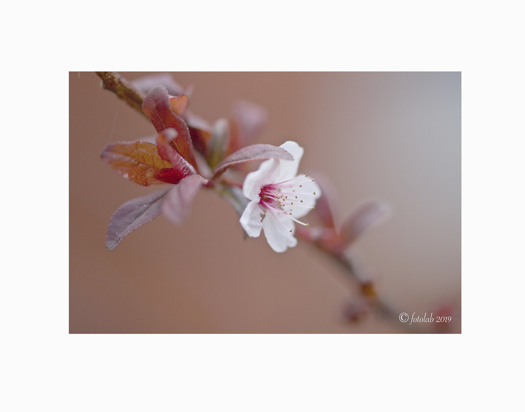 Ciruelo de jardín, (Prunus cerasifera).