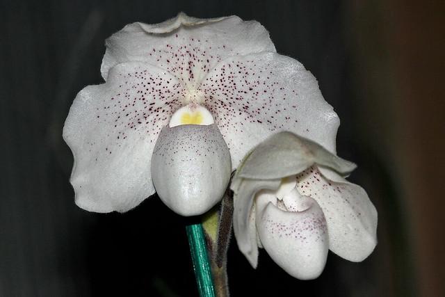 Paphiopedilum niveum possibly hybridized.  Update: Paphiopedilum  Greyi!