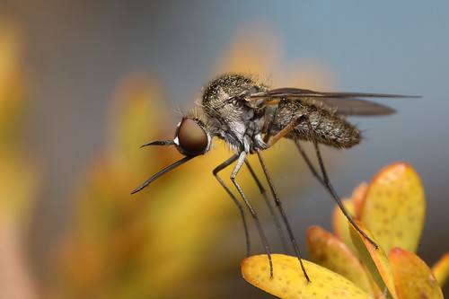 Bee Fly (Geron sp)