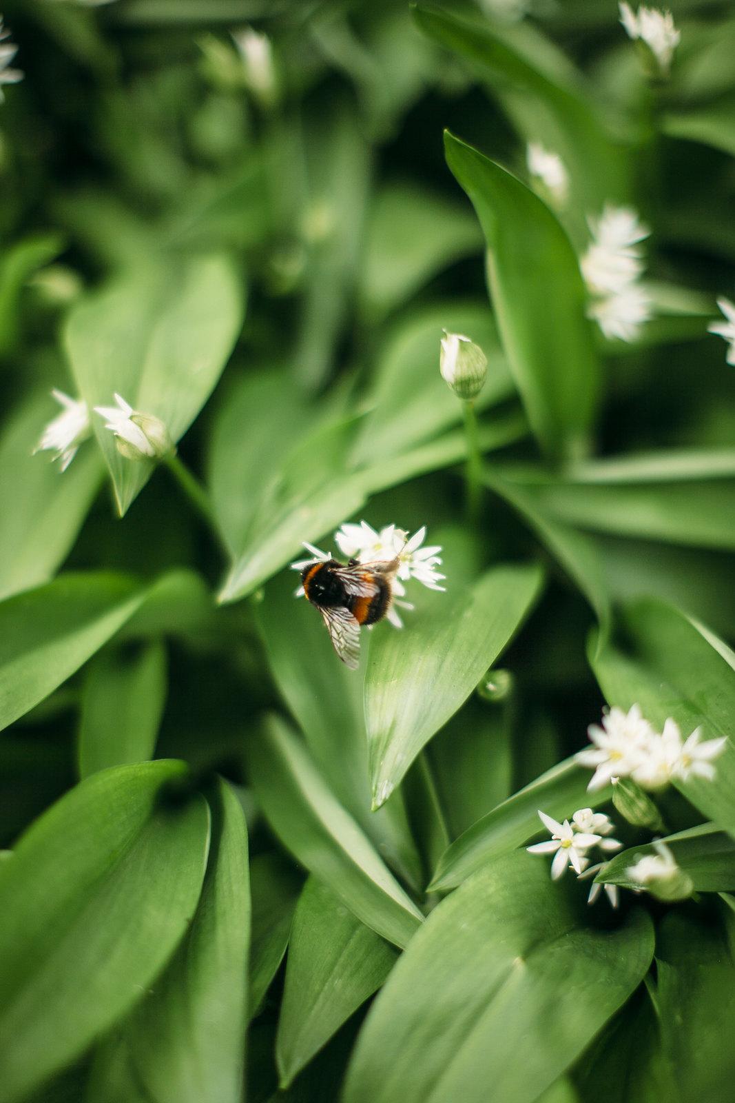 wild garlic-33
