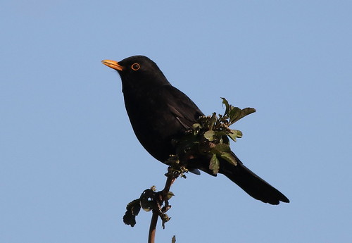 Blackbird ♂ (Turdus merula)