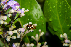 Beetle on Vitex rotundifolia