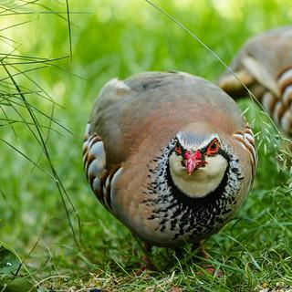 red eyes, red beak   by tersha53