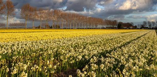 schiphol ijweg haarlemmermeer narcis daffodil populier poplar cffaa