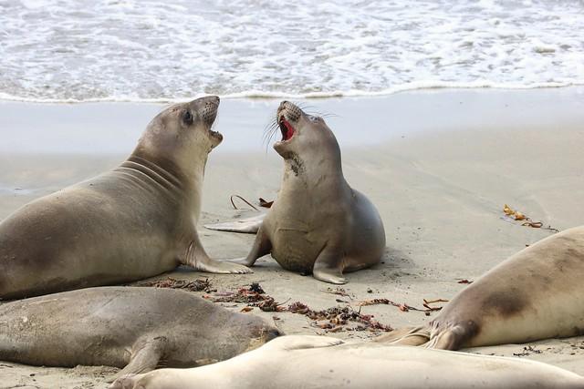 Elephant Seals, Piedras Blancas, CA