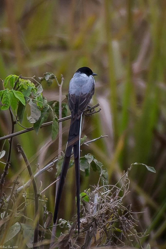 Fork-tailed Flycatcher [Tyrannus savana]