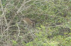 Calithrix or green momkey Shai Hills Resource Reserve in Ghana