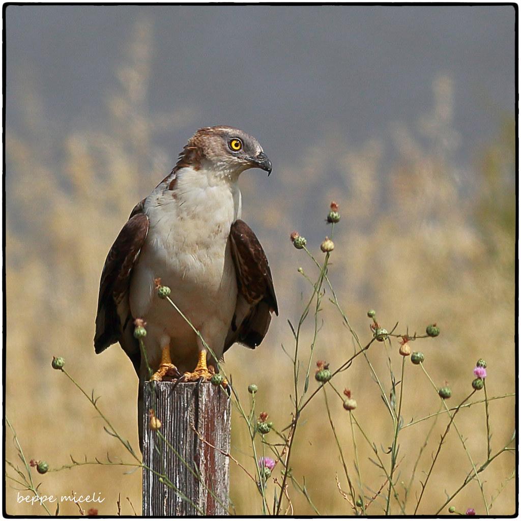 Falco pescatore - Osprey - Diaccia Botrona (GR) Italy