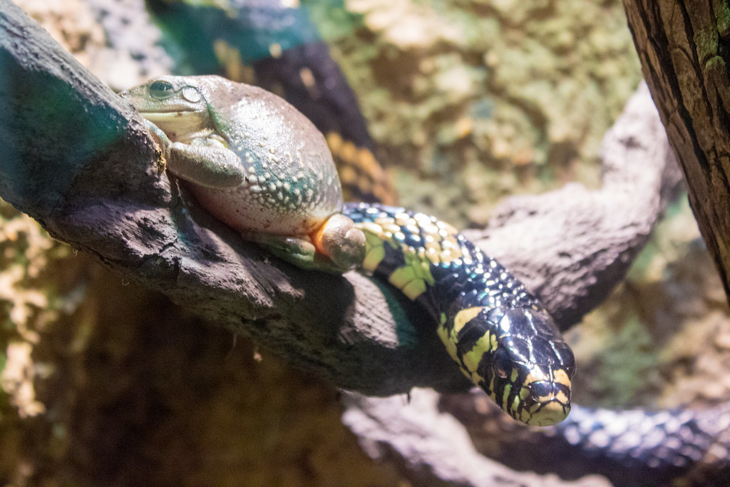 Mexican leaf frog and yellow ratsnake
