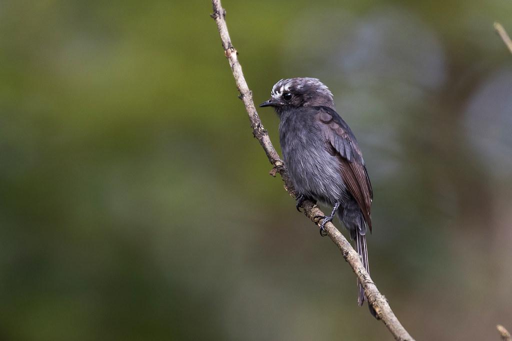 Long-tailed Tyrant (Colonia colonus) - juvenile
