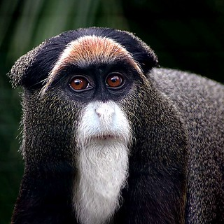 De Brazza's Monkey | by noelcmn