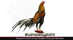 Mengenal-Ciri-Ekor-Lidi-Ayam-Bangkok-Yang-Super-Mematikan