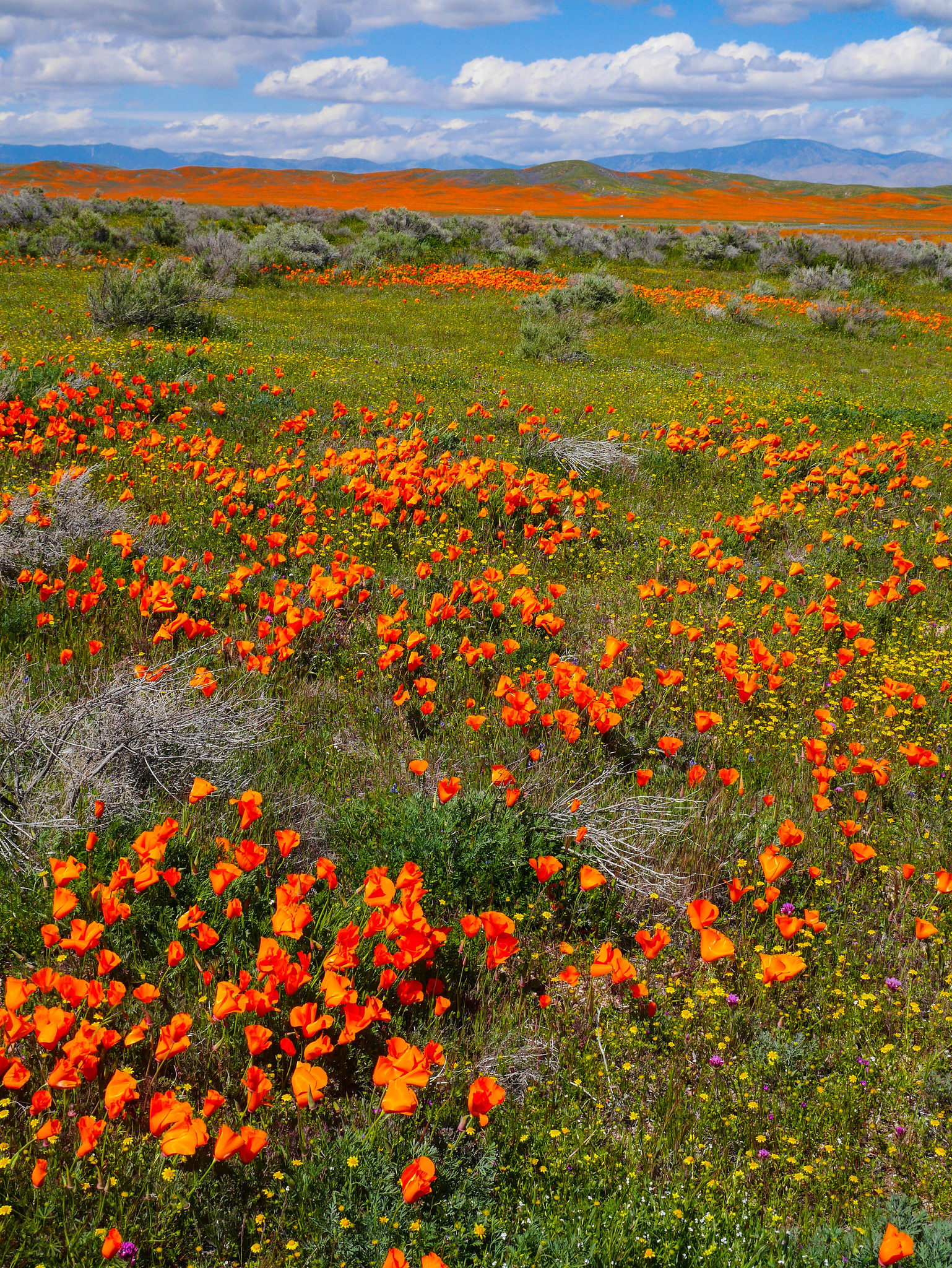 Antelope Valley poppy bloom