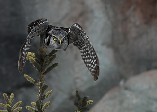 Northern Hawk Owl...#52