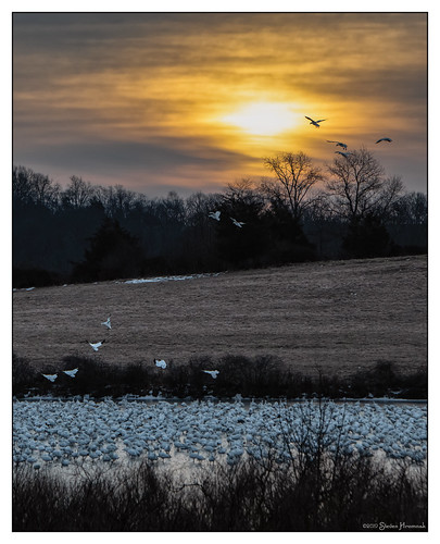 snowgeese snow geese flock uppermountbethel mountbethel xe92 ice sunrise 0700 cloudy