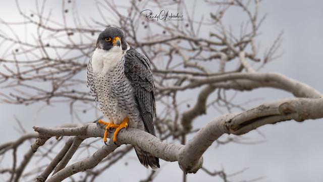 Peregrine Falcon - Falco peregrinus | 2019 - 5