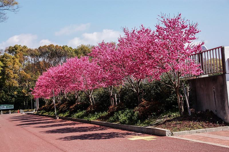 萬博公園櫻花 1