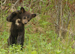 Black Bear cub...#35 (high five)