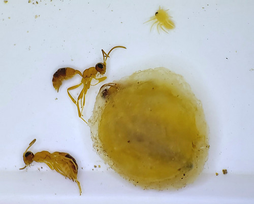 two wasps and a spiderling submerged in ethanol with the silken egg sac they emerged from