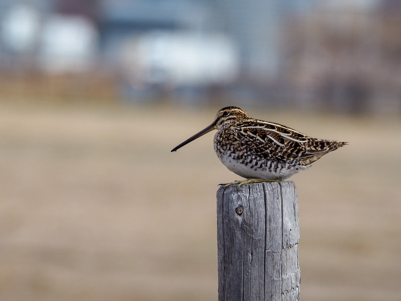 Sandpiper on a fence post