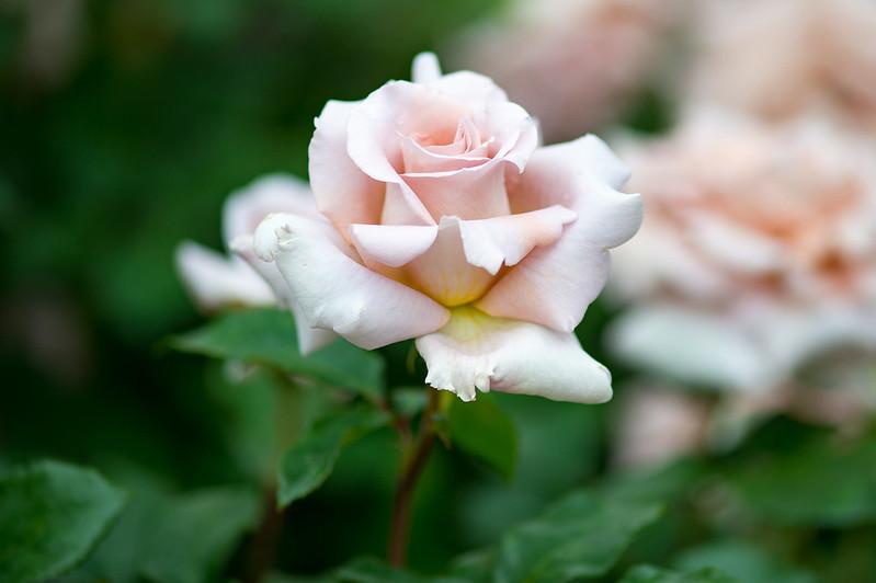 Обои роза, лепестки, бутон картинки на рабочий стол, раздел цветы - скачать