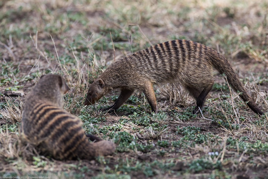 manguste Serengeti sep18_04_med