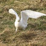 Ivory Gull Release