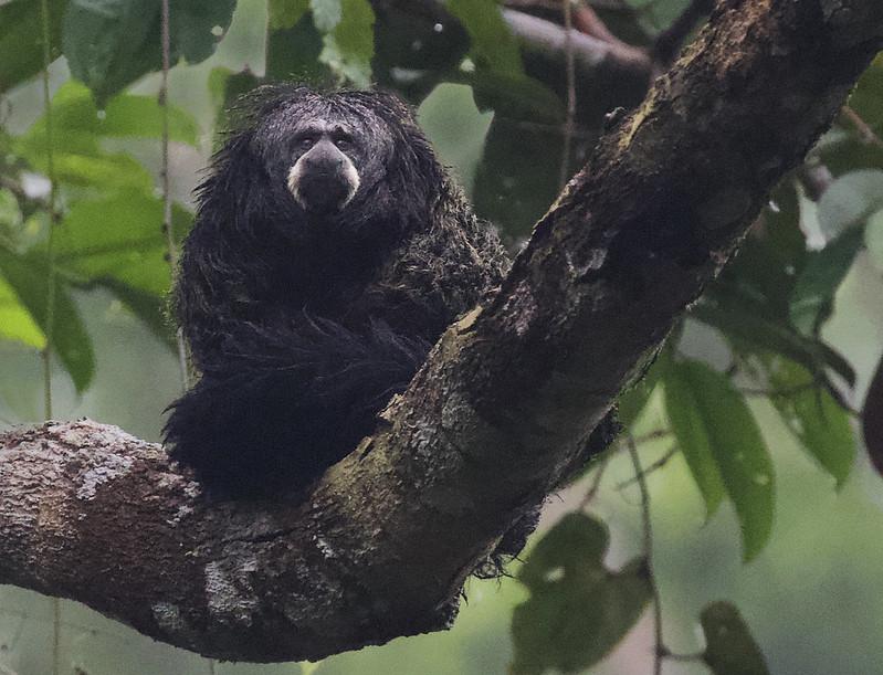 Monk Saki Monkey, Pithecia monachus Ascanio_Amazon Cruise 199A9521