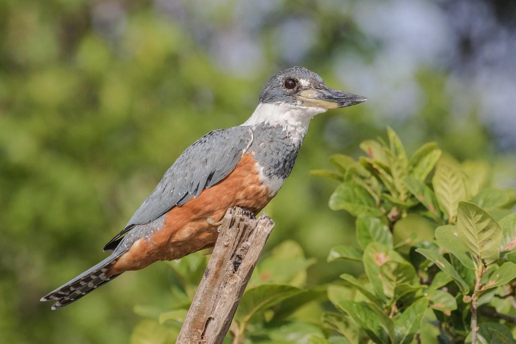 9K0A3415 Ringed Kingfisher, Megaceryle torquata.