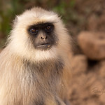 Monkey portrait_Patis Paton