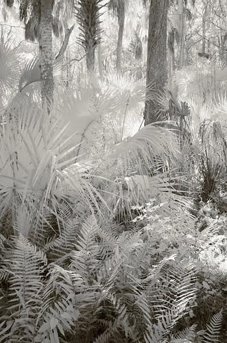 florida infrared palmetto fern pentax k5 tiltshift rokinon13524mmedasumctiltshift iridientdeveloper affinityphoto