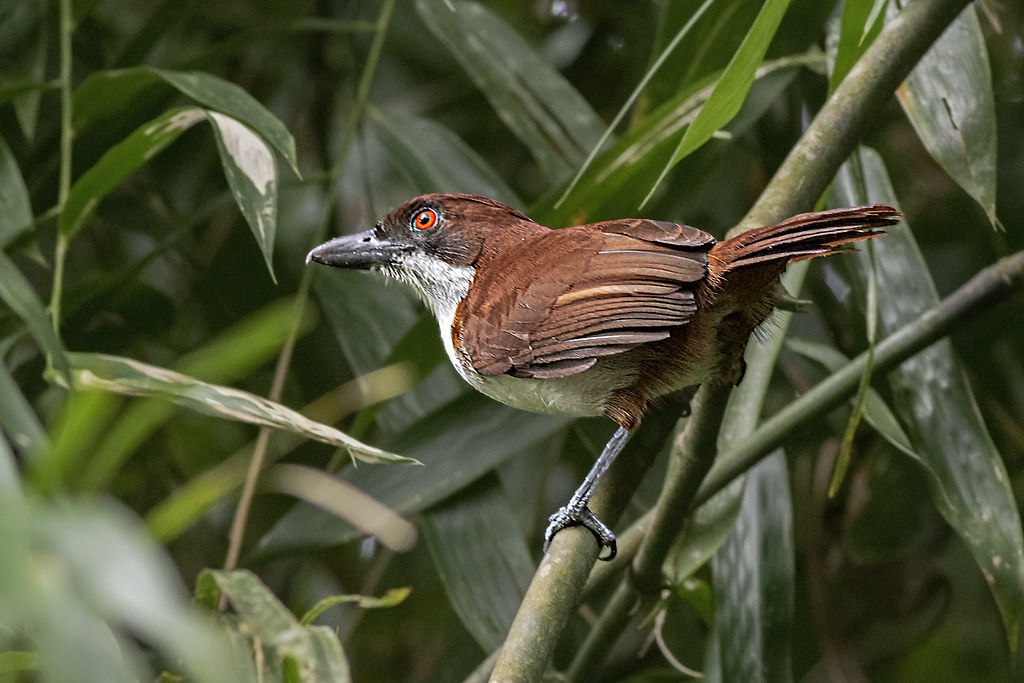 Great Antshrike_28A9476