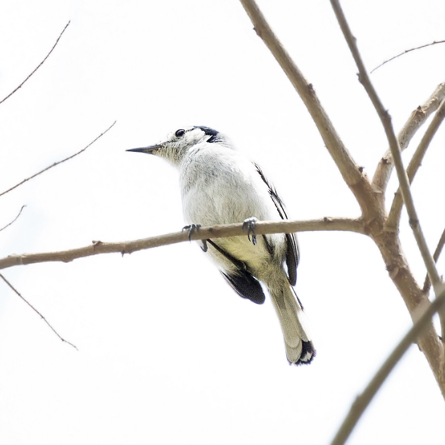 Tropical Gnatcatcher (Polioptila plumbea) 1 032019