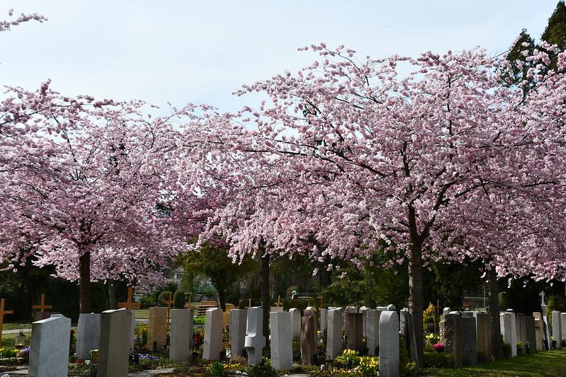 Japanese Cherry Blossom 02.04 (2)