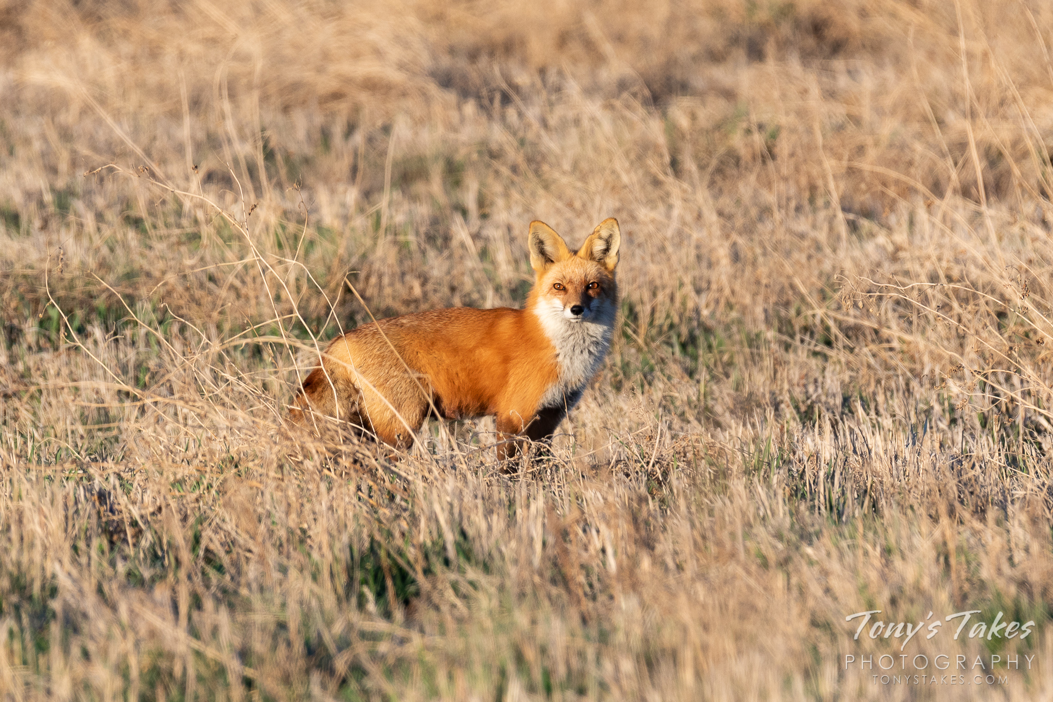 A red fox keeps close watch in Weld County, Colorado. (© Tony's Takes)